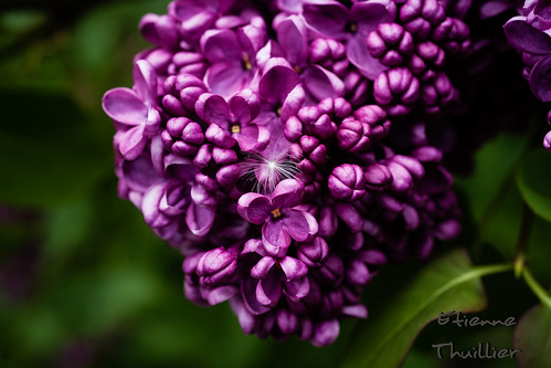 Fleur de Lilas by e.thuillier