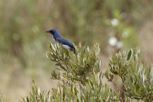 Santa Cruz Island: Island Scrub Jay 1