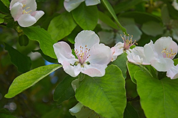 cognassier - Cydonia oblonga, fleurs et feuilles