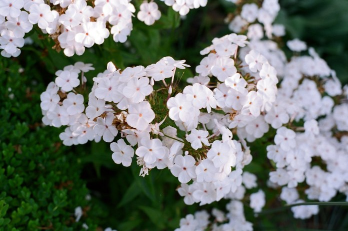 Abundant white flowers