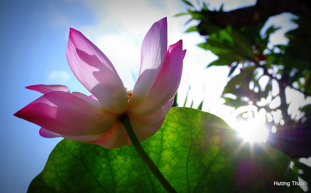 Lotus & the sun