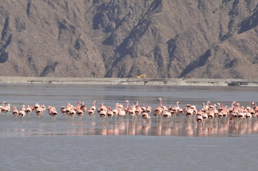 """Durante su proceso migratorio, las """"Parinas Grandes"""", de la familia de los flamencos, descansan cada año en el dique de colas de Minera Alumbrera."""