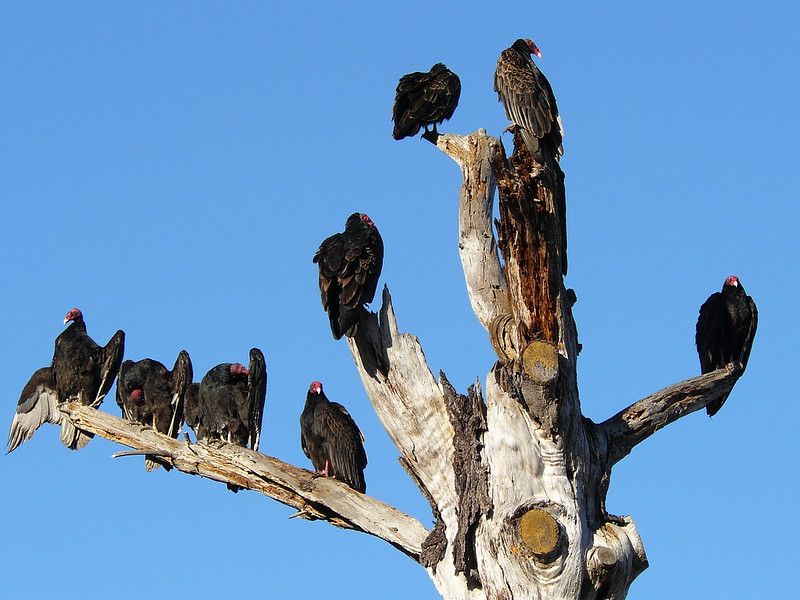 Turkey Vultures (Cathartes aura) Preflight Warmup