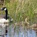 Canada Goose & Goslings at Ynys Hir