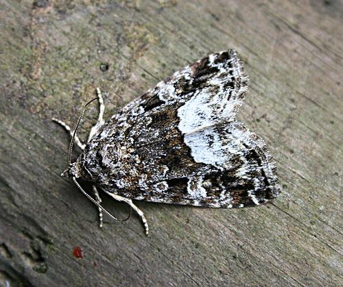 Marbled White Spot Protodeltote pygargaTophill Low NR, East Yorkshire June 2013