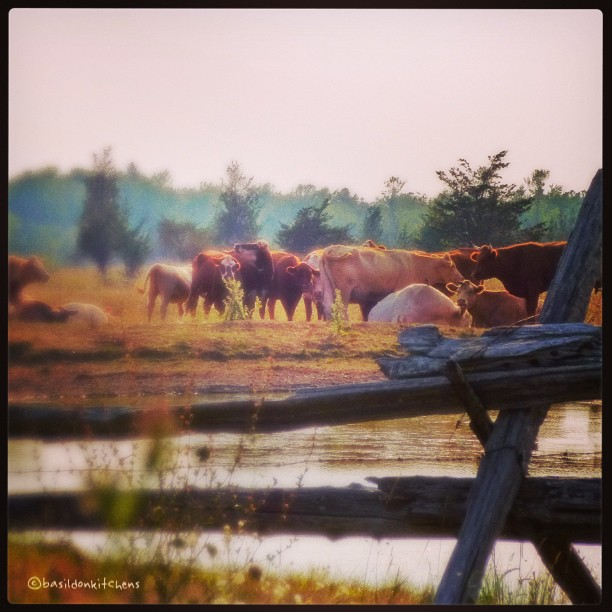 Aug 24 - in the background {cows @ a local watering hole} #fmsphotoaday #princeedwardcounty #cows #fence #wateringhole #rural #farm