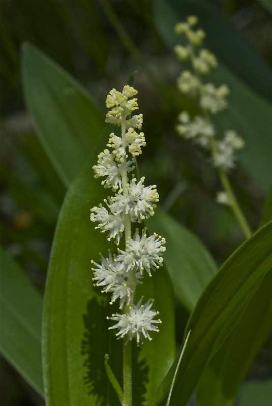 Feathery False Lily-of-the-valley