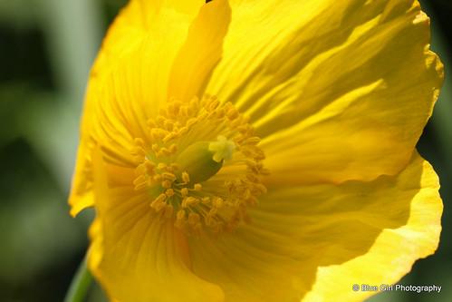 Yellow Poppy by suzypud