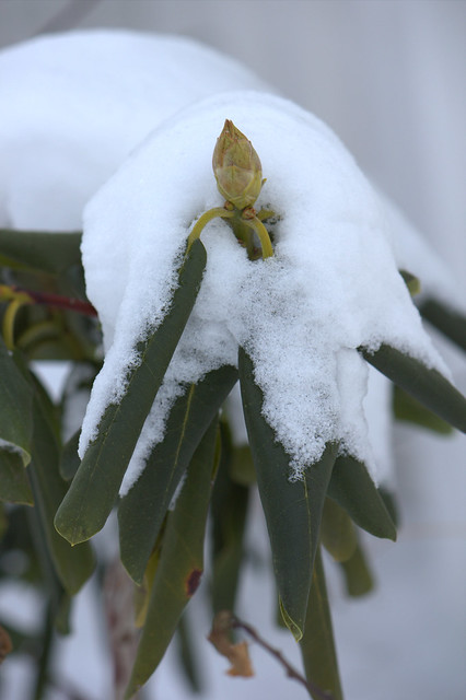 Rhododendron catawbeinse 'Nova Zembla'