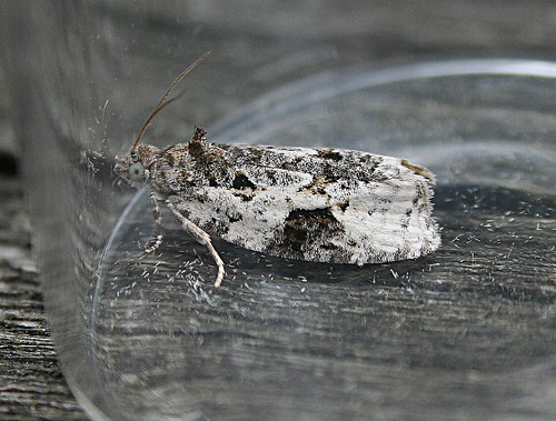 Apotomis turbidana Tophill Low NR, East Yorkshire August 2013