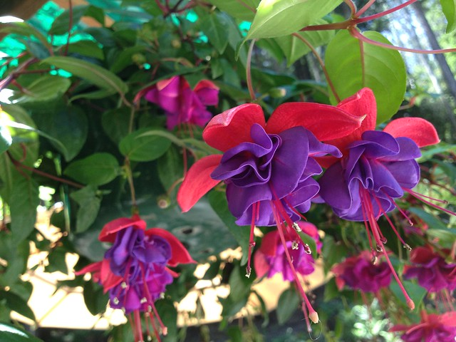 Red and purple Fuschia flowers
