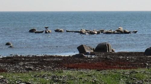 Seals basking in the sun by ErikViggh@Rosentorp
