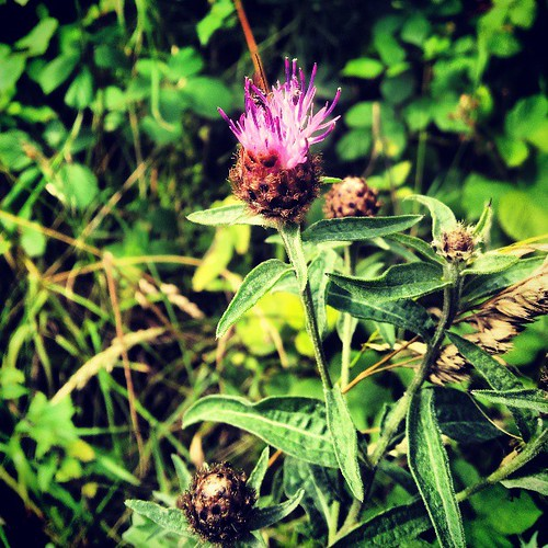 #BlackKnapweed