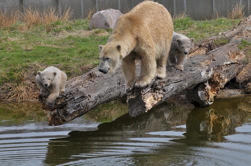 Eisbärin Ilka und ihr Nachwuchs im Skandinavisk Dyrepark in Kolind