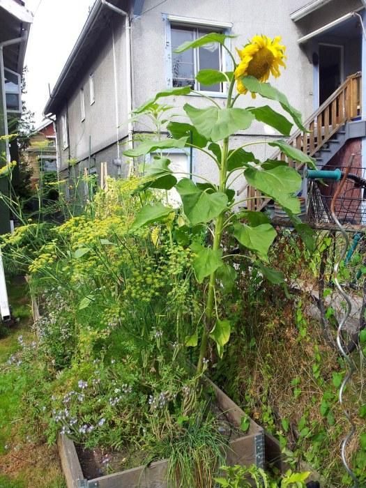 One good sunflower