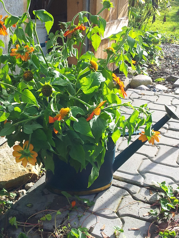 mexican sunflowers in can