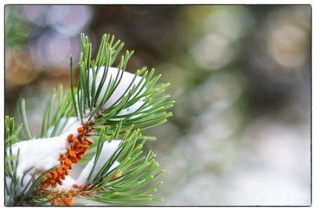 Pine magic