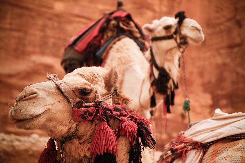 Camel @ Petra, Jordan