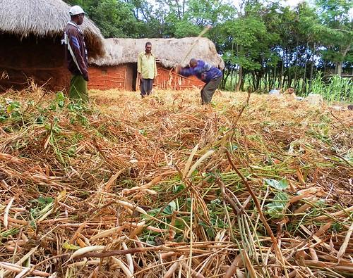 Farmers threshing beans on the floor