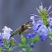Hummingbird and Plumbago_DSC7655