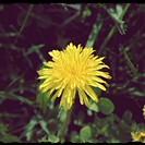dandelion bordered 2