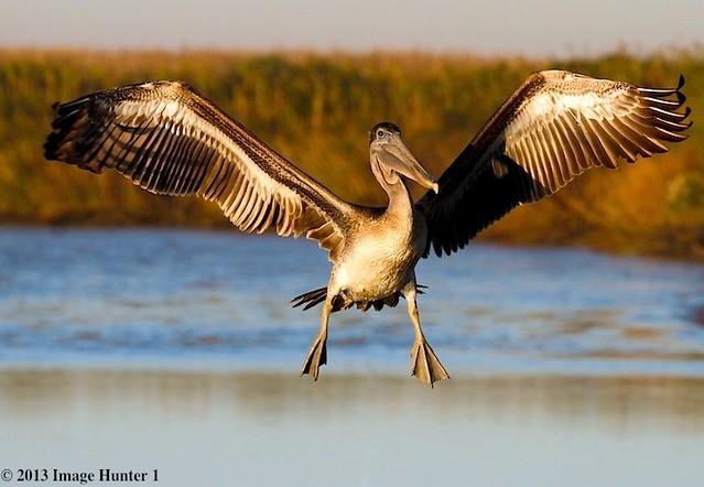 Brown Pelican - Freshwater City, Louisiana