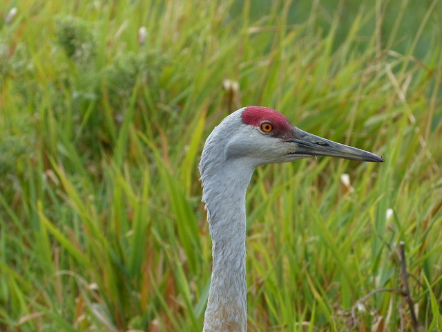 Crane (with Long Grass)