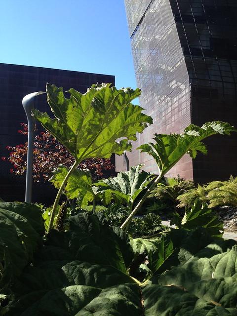 Giant rhubarb leaves