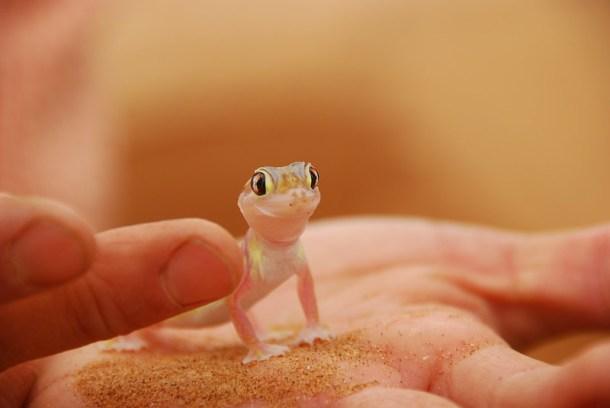 desert gecko in namibia