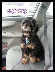 Bella before haircut