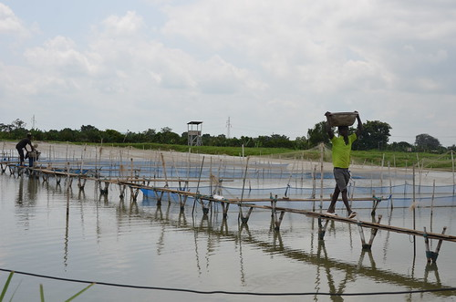 Tilapia-rearing ponds at Tropo farm in Akuse, Ghana