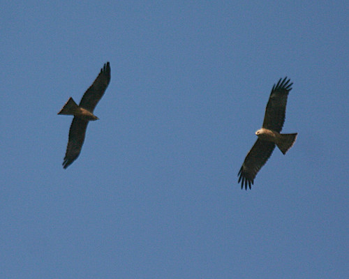 Black Kite Milvus migrans Cabranosa, Sagres, Portugal October 2013
