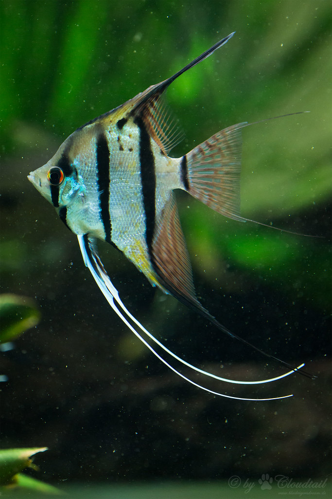 Freshwater Angelfish A Picture I Ve Made During A Visit