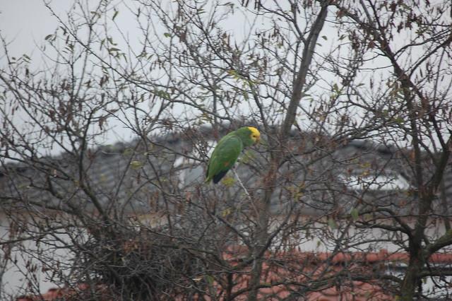 The Parrots of Bad Cannstatt