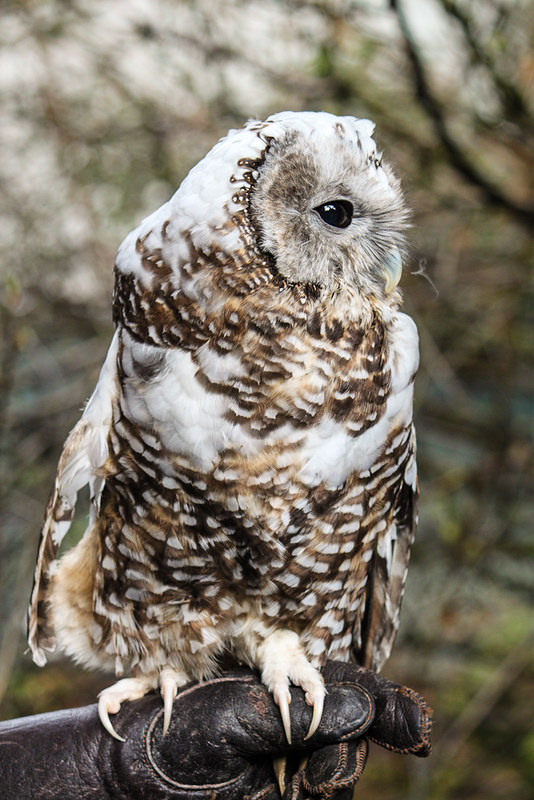 Northern Spotted Owl (Strix occidentalis caurina)