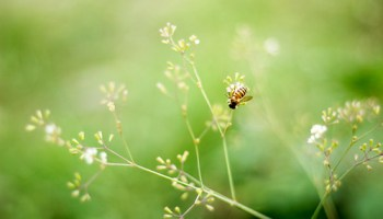 bunga liar dan lebah jantan