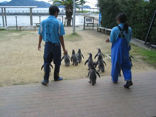 和むペンギンの散歩姿