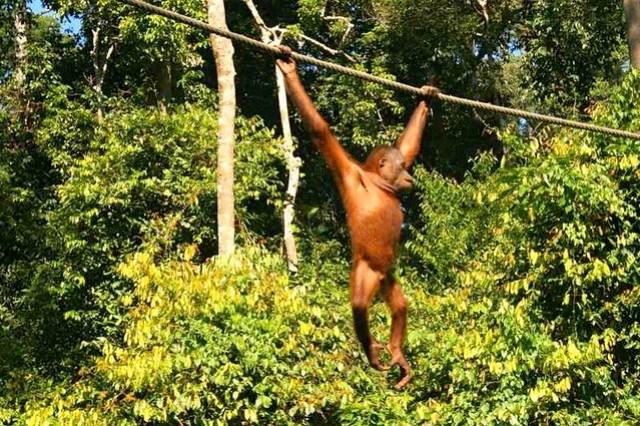 Orangutanes, jungla, Malasia, ©evaespinet