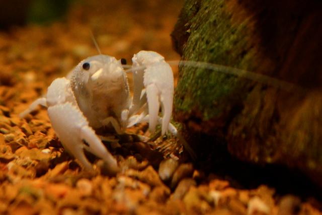 Albino Crawfish
