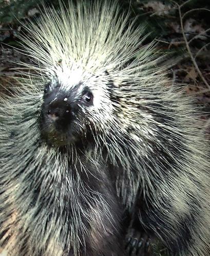 North American porcupine close up