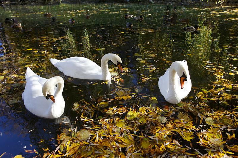 swans. Striyskiy park, Lviv, Ukraine