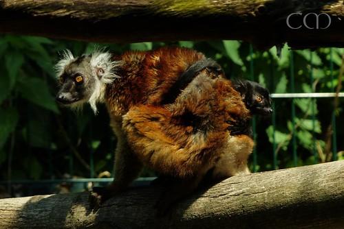Black Lemur (Mohrenmaki) with kid..:)