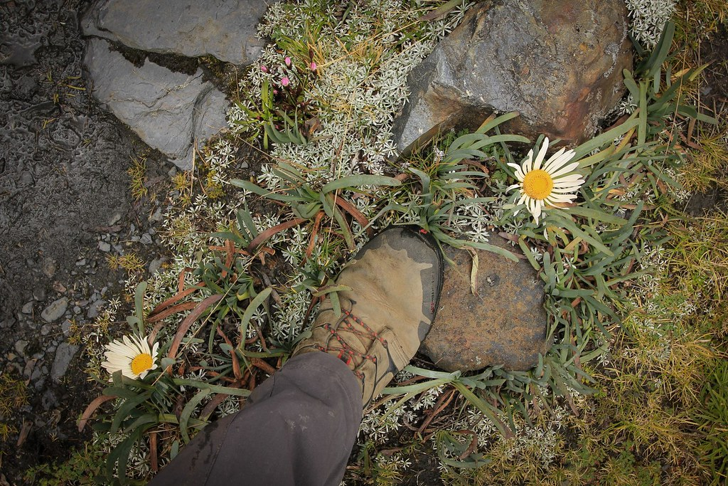 It is said that if one tears of a leaf of the Tarqoy flower, it will rain. Too much tearing thus, this year. Huascaran National Park. Cordillera Blanca. Peru.