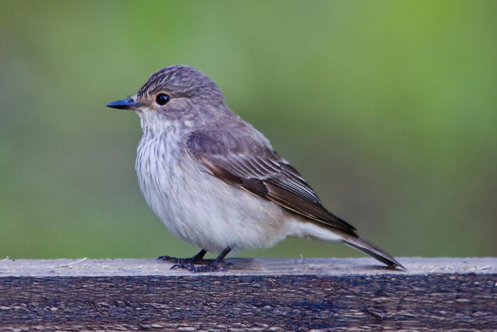 Spotted Flycatcher 2