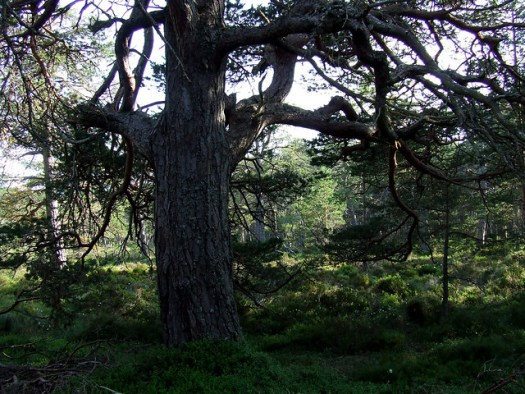 Scots pine, Abernethy forest