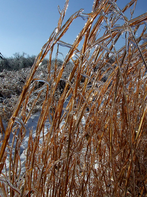 broomsedge in ice