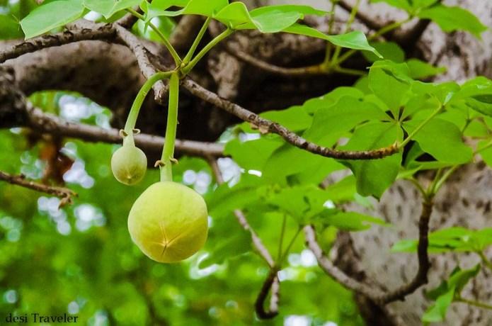 Fruits of baobab tree monkey bread tree