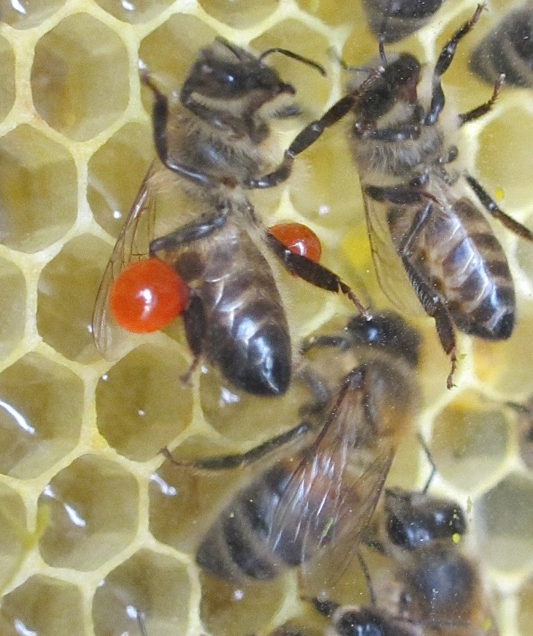 Propolis forager returns to the observation hive