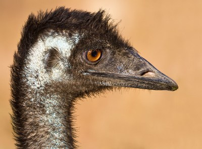 Close encounters of the Emu kind