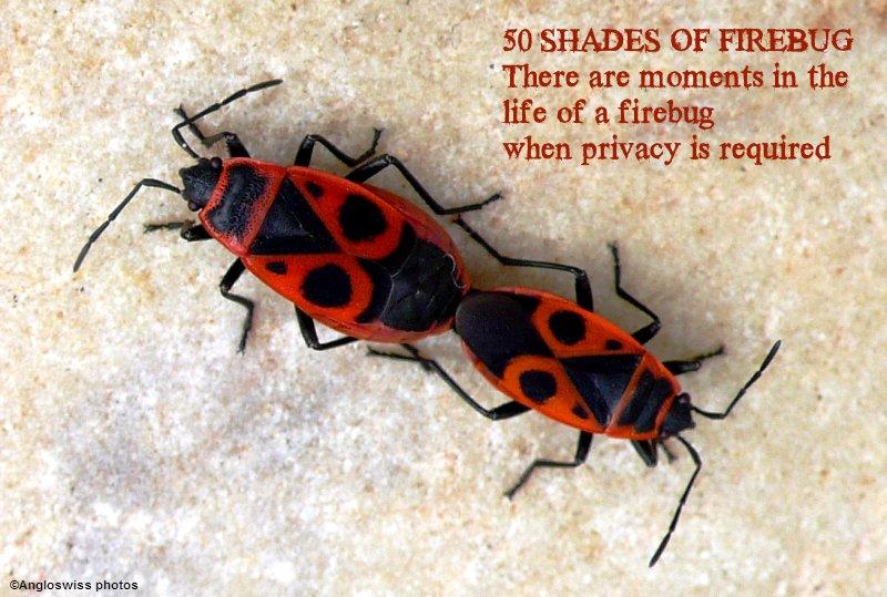 Two Firebugs